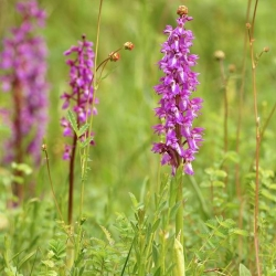 Orchis mâle - Sentier de découverte de la Réserve Naturelle Nationale de Montenach - photo J.J.Weimerskirch